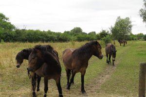 Beweidung durch Exmoor Ponys