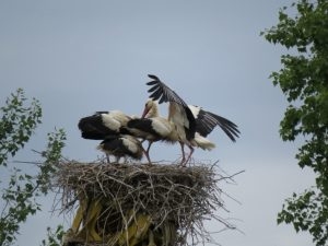 Altstorch landet am Nest