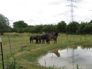 Exmoor-Ponys am Teich.
