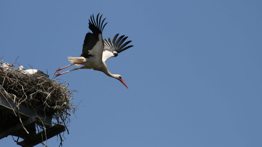 Storch fliegt vom Nest ab