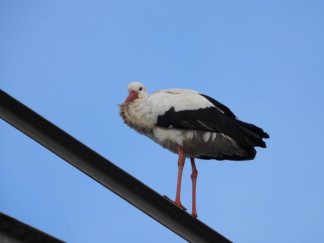 sitzender Storch